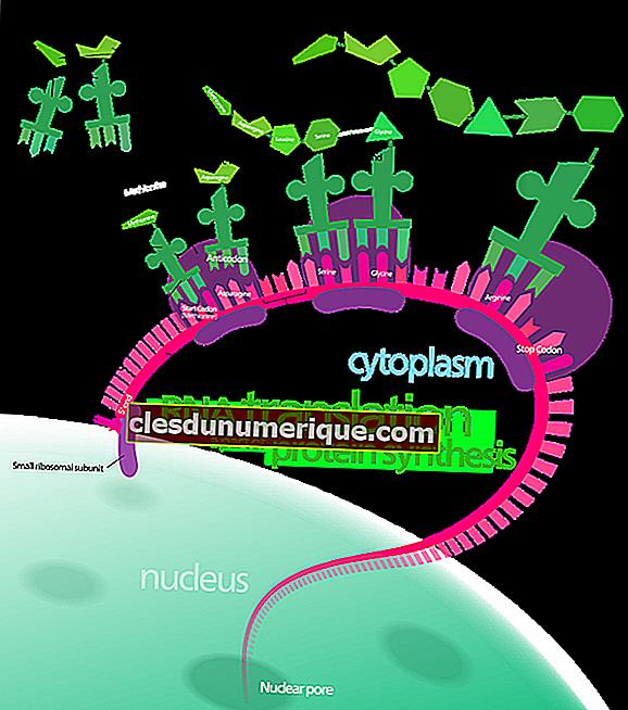 Síntesis de proteínas, ¿qué ocurre y cómo ocurre?